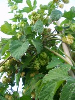 New Mexico Hops