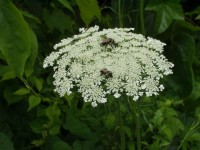 Owen Conservation Park, Madison, WI - Bees on Queen Anne's Lace