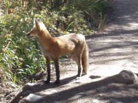 Red Fox in Rocky Mountain National Park