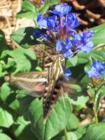 Hyles lineata - White-lined Sphinx Hummingbird Moth