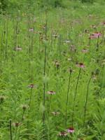 Owen Conservation Park, Madison, WI - Cone Flowers